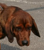 Alpine Dachsbracke with lovely eyes