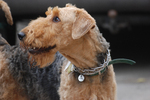 Black & Tan Airedale Terrier