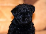 Black Affenpinscher puppy