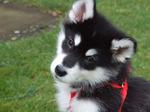 Cute Alaskan Malamute puppy