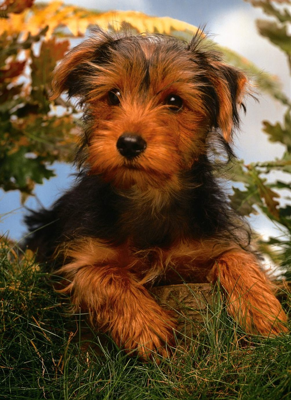 Nice Airedale Terrier puppy wallpaper