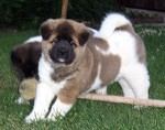 Nice American Akita puppies