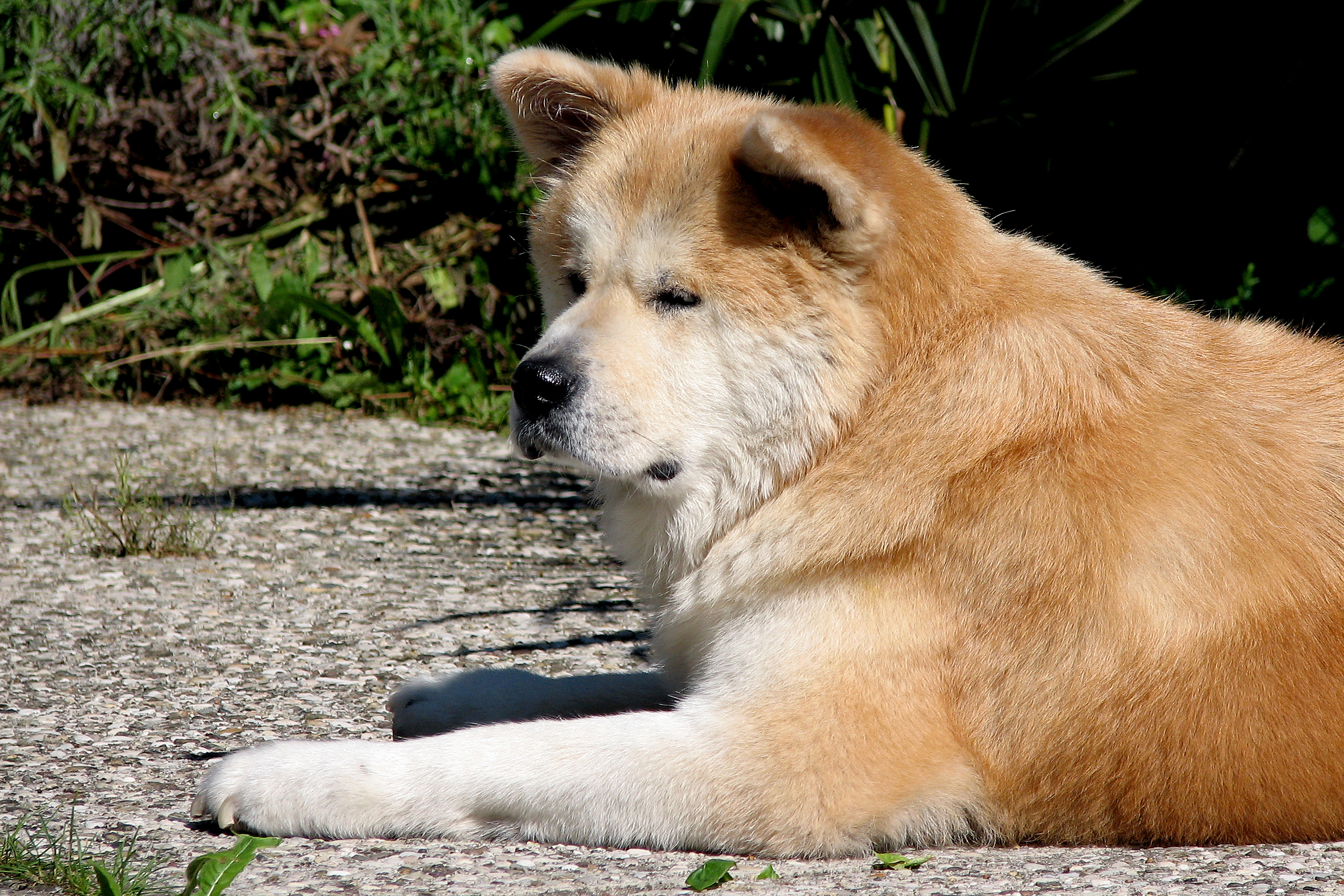 Old Akita Inu dog wallpaper