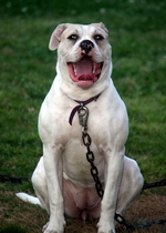 Sitting American Bulldog