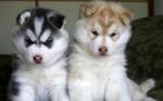 Two funny Akita Inu puppies
