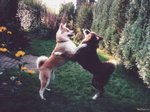 Two playing Akita Inu