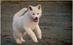 White Akita Inu on the sand