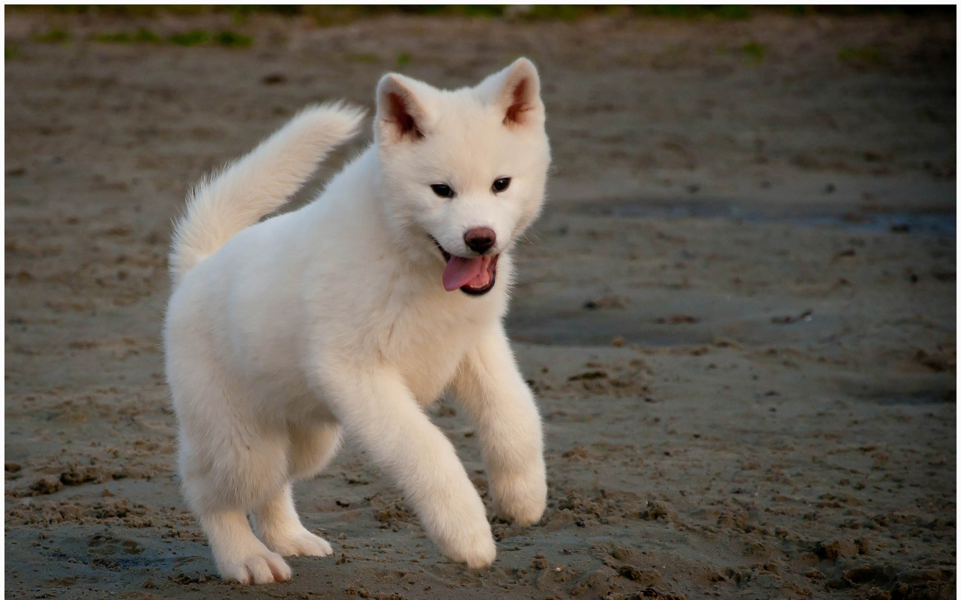 White Akita Inu on the sand wallpaper