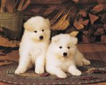 Two white American Akita puppies