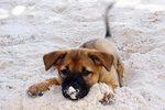 Phu Quoc ridgeback puppy