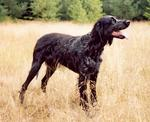 Picardy Spaniel dog  on the field
