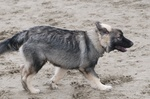 American Alsatian dog on the sand