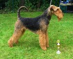Airedale Terrier and his cup