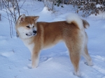 American Akita in winter