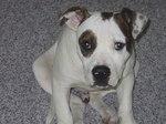 Funny American Bulldog Duke