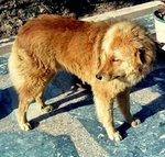 Piebald Bakharwal dog