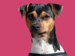 Pink Brazilian Terrier