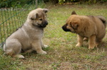 Playing Eurasier puppies