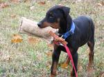 Playing German Pinscher dog