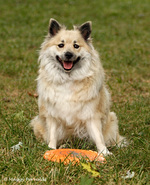 Playing Icelandic Sheepdog dog