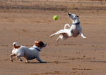 Playing Jack Russell Terrier dogs