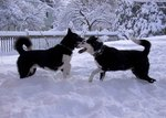 Playing Karelian Bear Dogs