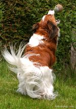 Playing Kooikerhondje dog