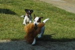 Playing Parson Russell Terrier puppies