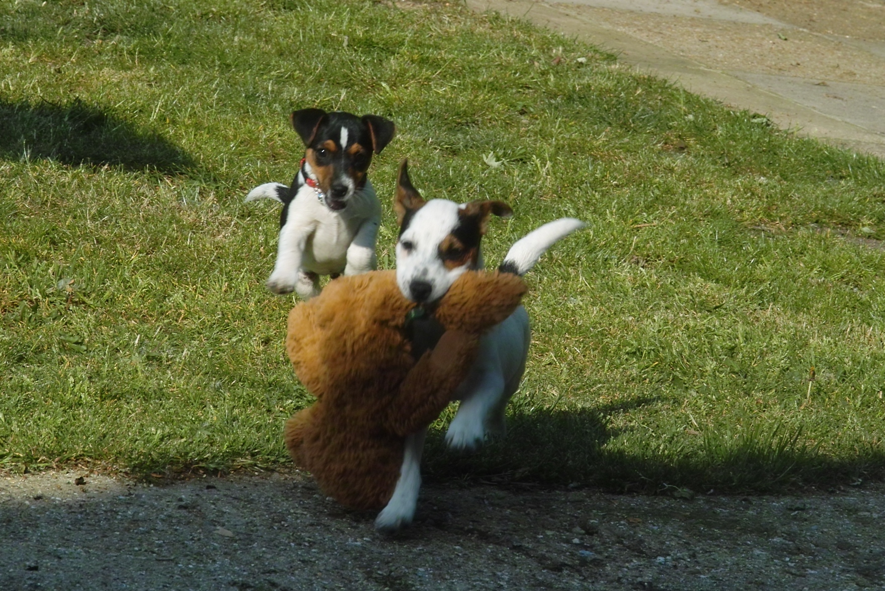 Playing Parson Russell Terrier puppies wallpaper