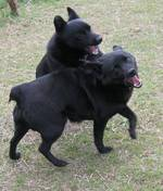 Playing Schipperke dogs