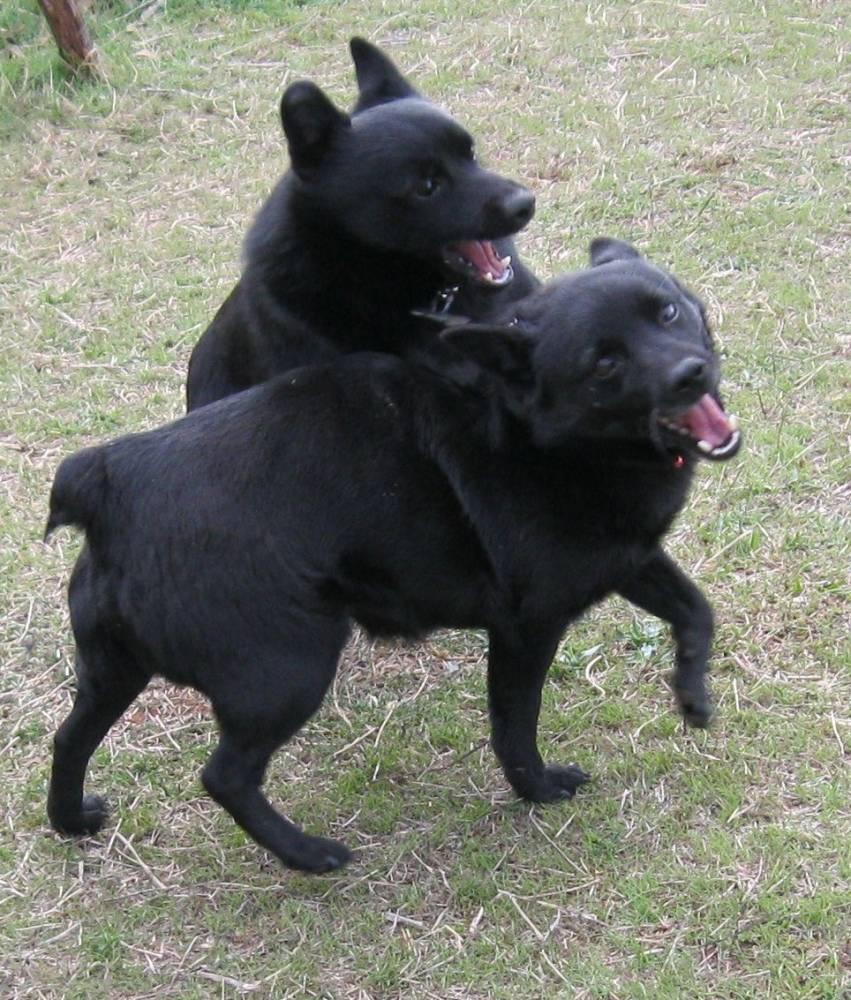 Собаки шипперке играют фото