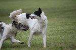 Playing Silken Windhound dogs