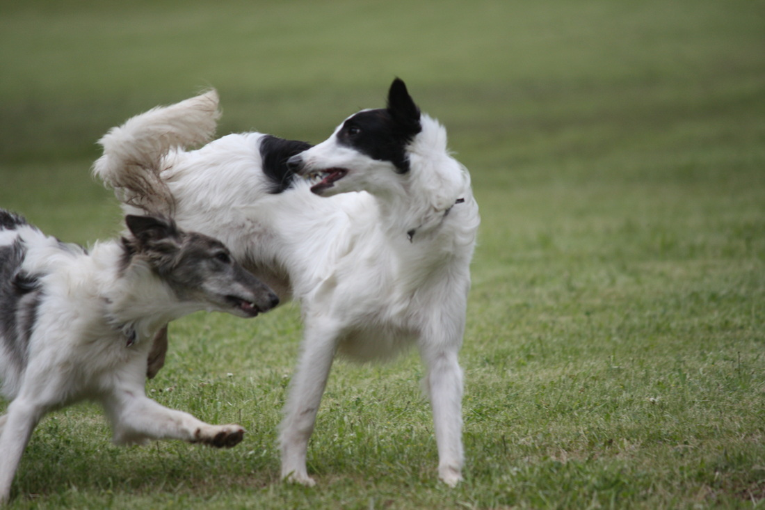 Playing Silken Windhound dogs wallpaper