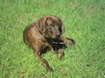 Plott Hound dog on the grass
