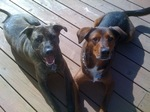 Plott Hound dogs