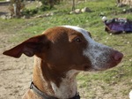 Podenco Canario dog face