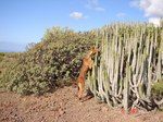 Podenco Canario dog in cacti