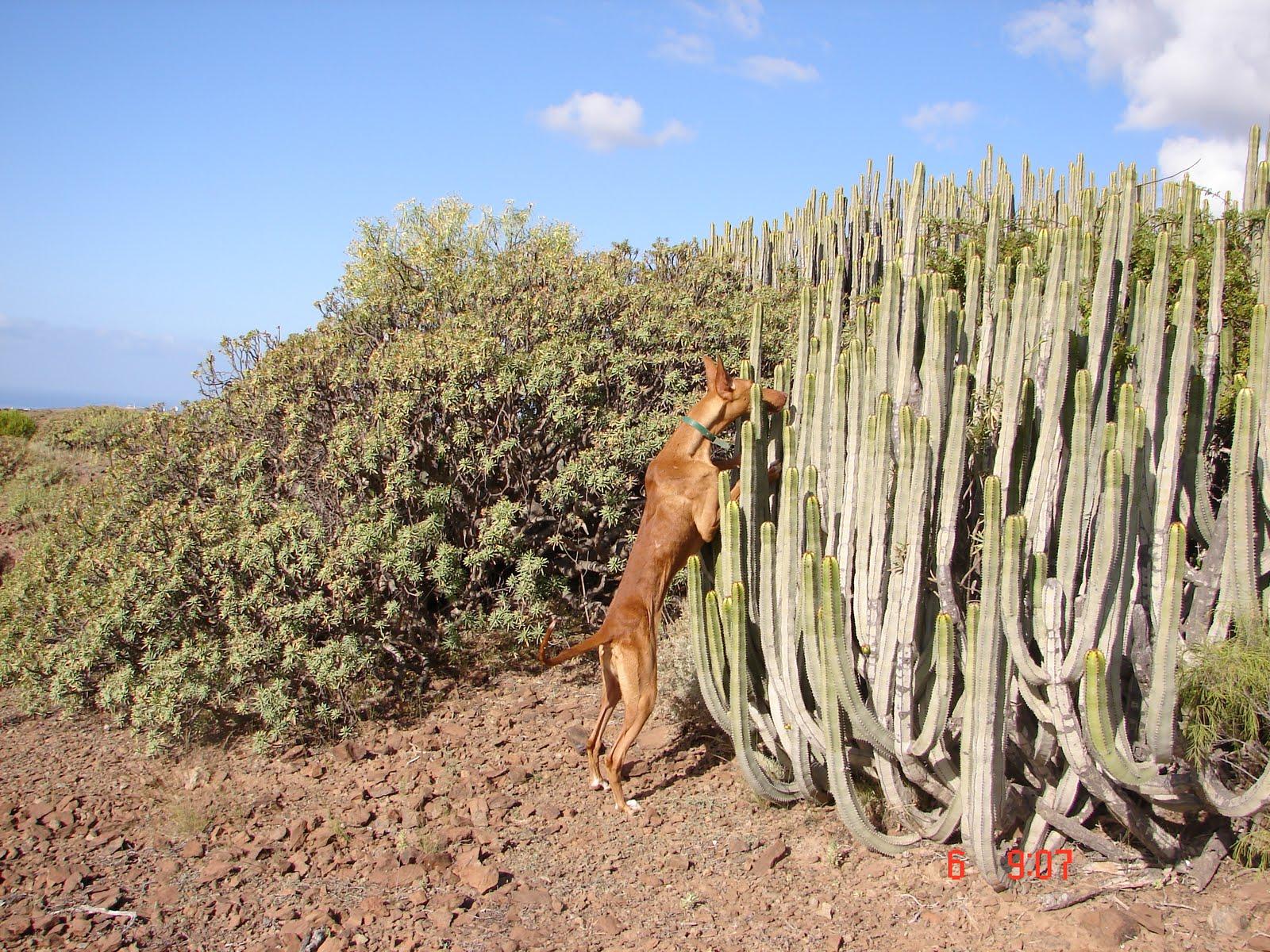 Podenco Canario dog in cacti wallpaper