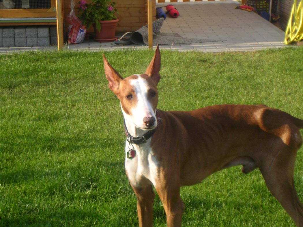 Podenco Canario dog on the grass wallpaper