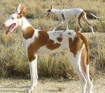 Podenco Canario dogs