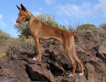 Podenco Canario on the mountain