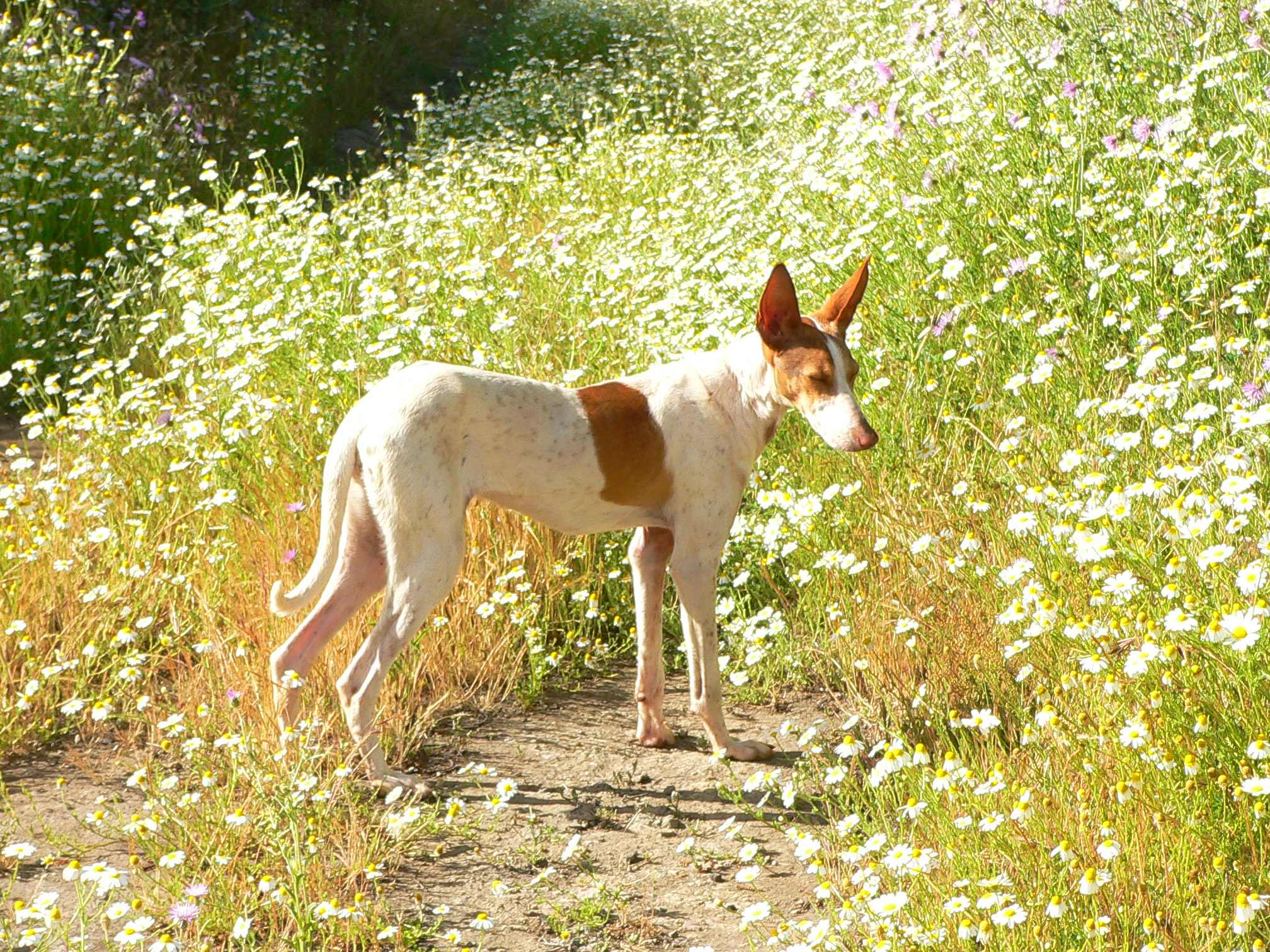 Podenco Canario wallpaper