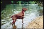 Pointer dog near the water
