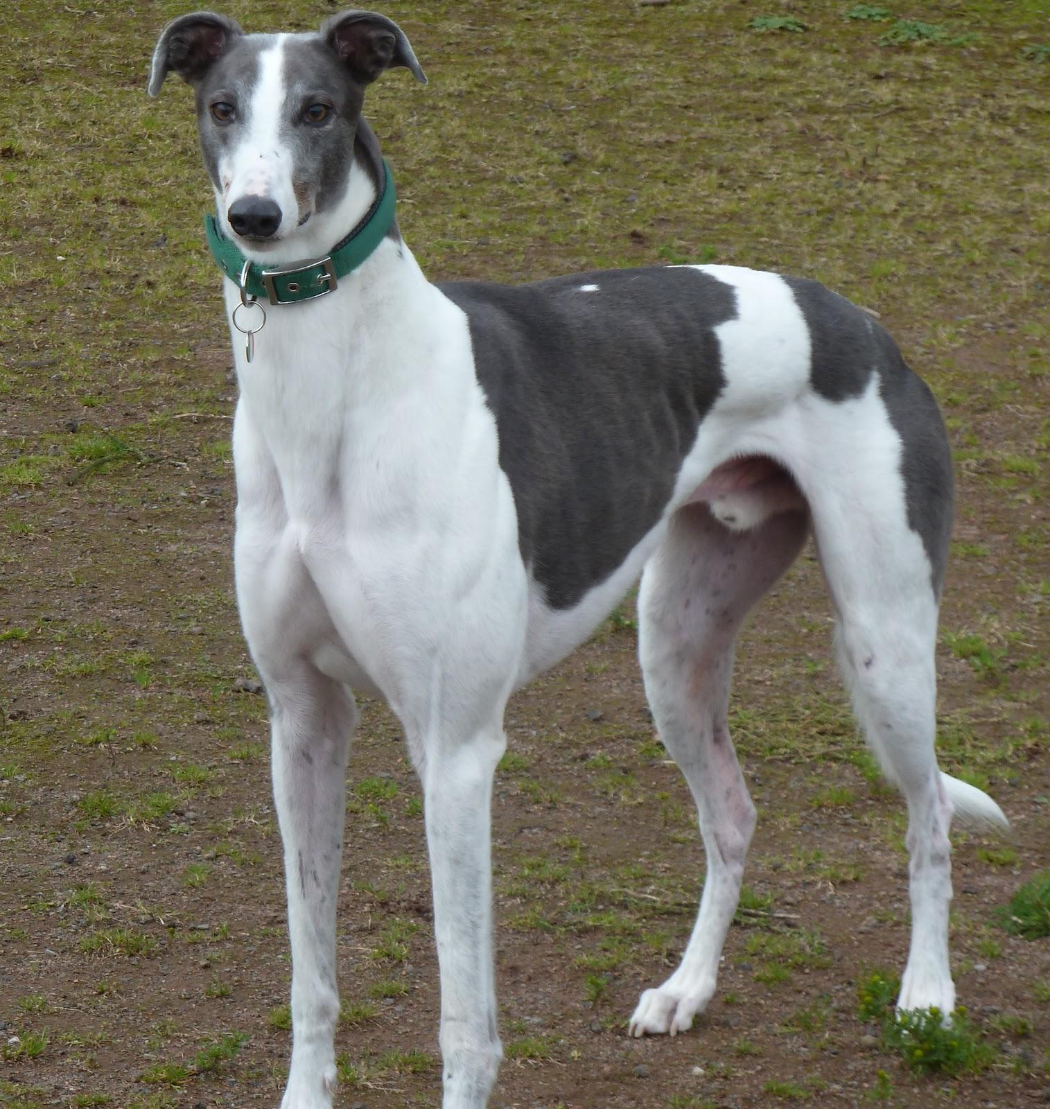 Add photos Polish Greyhound dog in your blog: