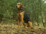 Polish Hound dog in the forest