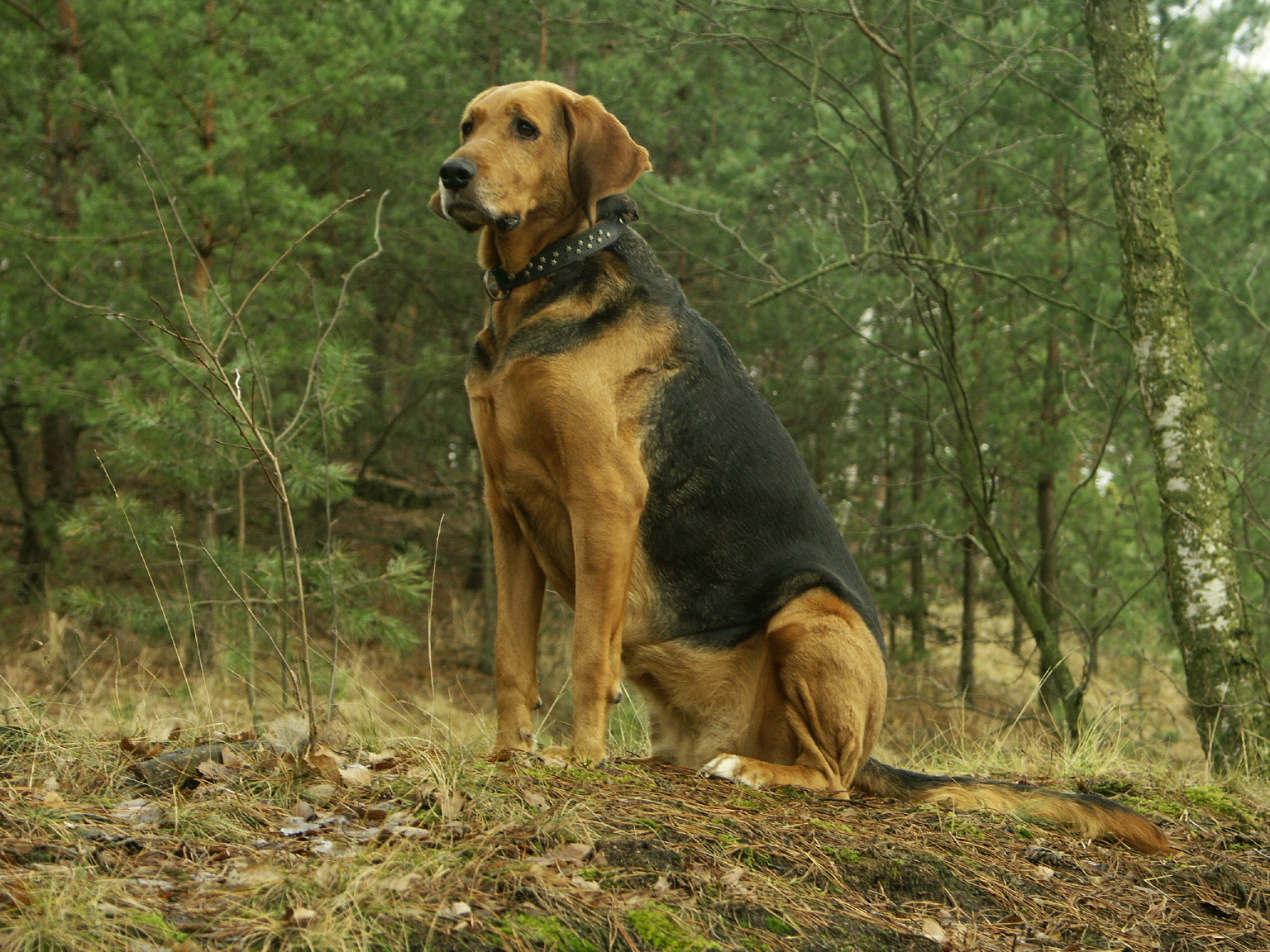 Polish Hound dog in the forest wallpaper
