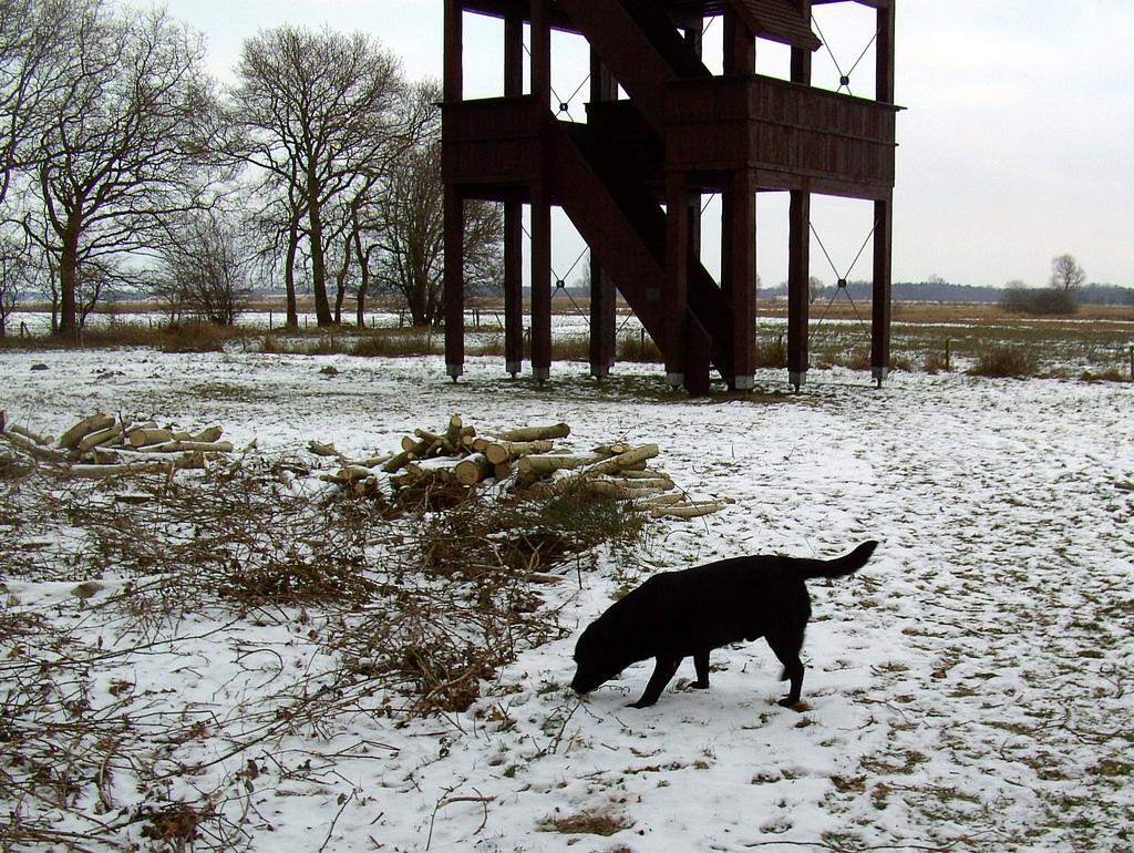 Польская охотничья собака в снегу фото