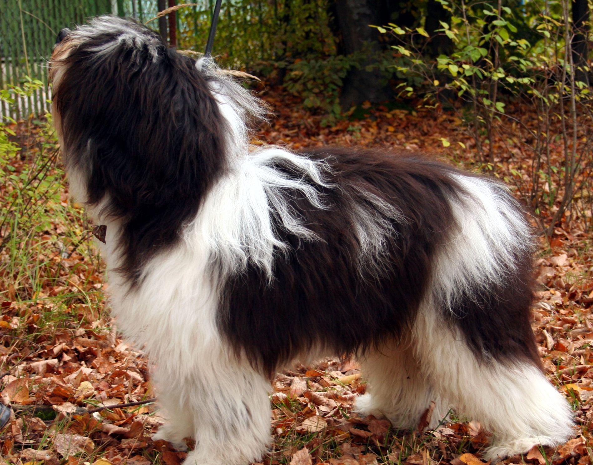 Polish Lowland Sheepdog for a walk wallpaper