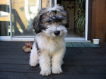 Polish Lowland Sheepdog puppy