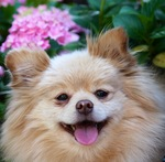 Pomeranian dog and a flower